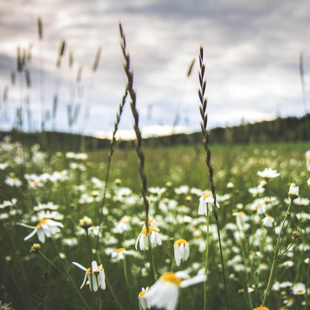 Keski-Suomalainen luonto loppukesästä auringonlaskussa. Päivänkakkaroita ja Peltosaunioita pellon laidalla.