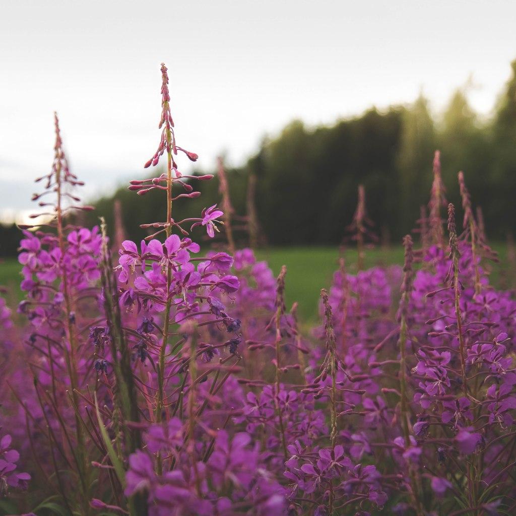 Keski-Suomalainen luonto loppukesästä auringonlaskussa. Horsmia pellon laidalla.