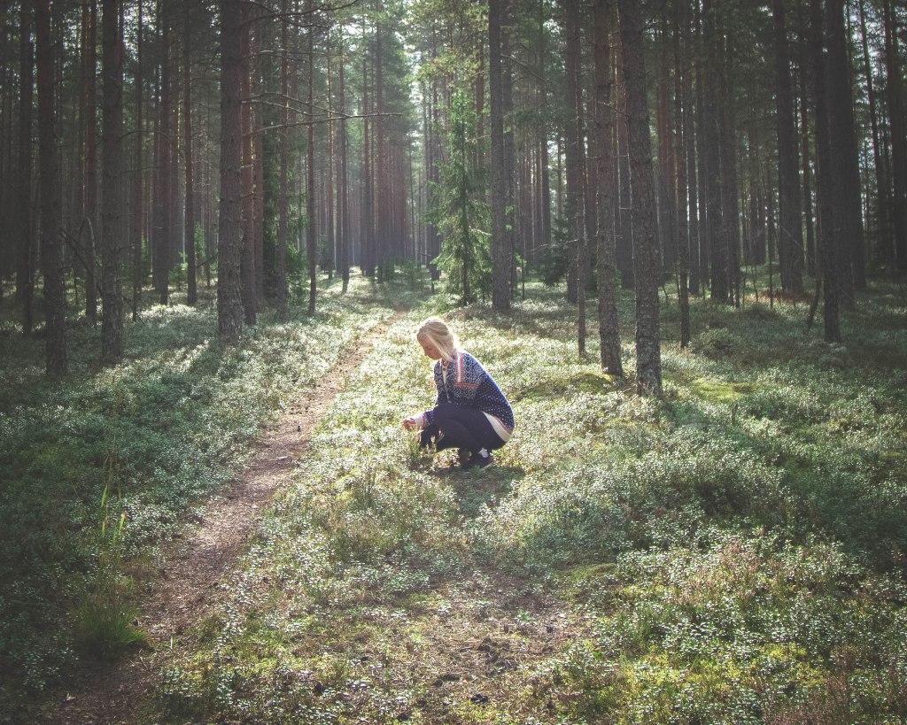 Keski-Suomalainen luonto loppukesästä auringonlaskussa. Marjojen keräämistä talven varalle.