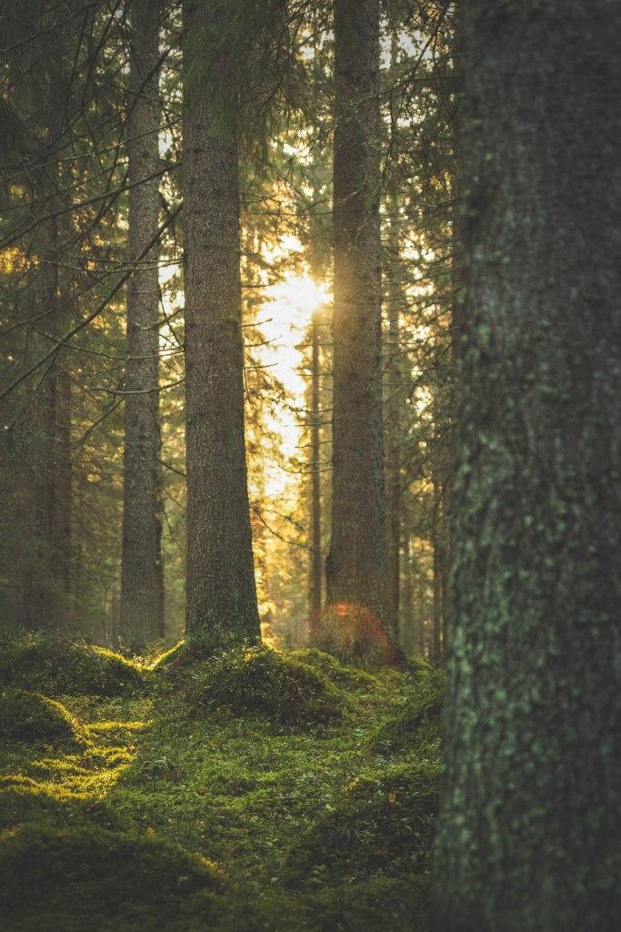 Keski-Suomalainen luonto loppukesästä auringonlaskussa. Laajavuoren vanha metsä on kaunis sammalpeitteessä.