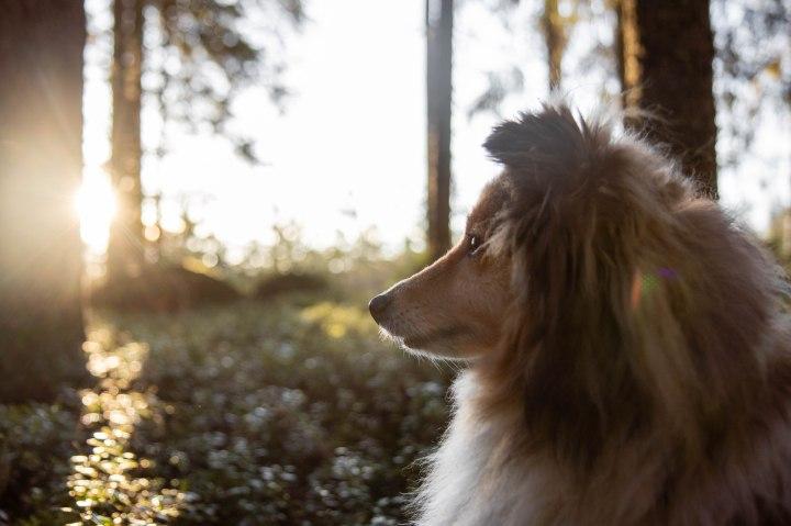 Kevätpäiväntasaus, aurinko nousee aamulla, metsässä linnut laulaa. Puhdas ilma, paljon naavaa. Koira katsoo auringonnousuun.