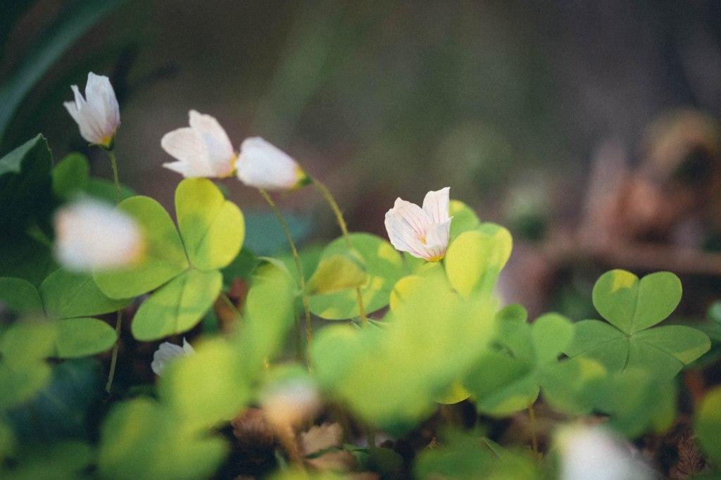 Kesän alun kukkaloistoa Tampereella; ketunleipä ja sen kukka.